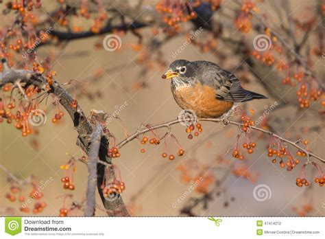 american robin stock photo image 47414212