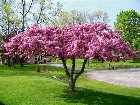 pictures of crabapple trees blossoming crabapple tree flickr photo sharing