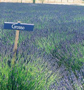 lavender soil ph pinterest the world s catalog of ideas
