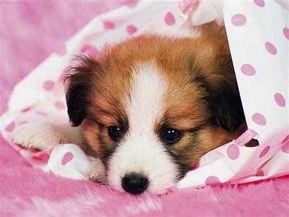 Dog Puppy Puppies Ladda Ner Bakgrund