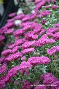 Mum's the Word: Fall Flowers