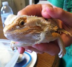 bearded dragon one day on pinterest dragons lizards and