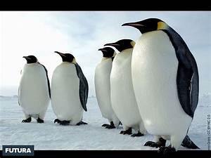 Pingouin Sur La Banquise : fond d 39 cran manchots sur la banquise ~ Melissatoandfro.com Idées de Décoration