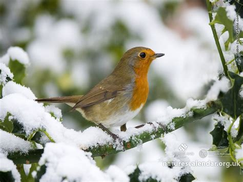 Robin Wallpaper And Background  1680x1260 Id455642