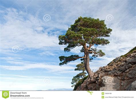 dangerous tree located   cliff royalty  stock
