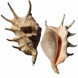 Lambis-Lambis Sea Shell Spider Conch; Seashell Collectibles