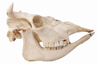 Animal Jaw Bone Skulls Cow Cows Mammals