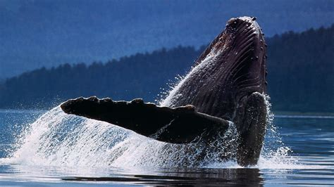 Here you can find the best orca whale wallpapers uploaded by our community. Wildlife Desktop Backgrounds (62+ images)
