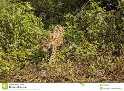 Jaguars Moving by Jaguar Moving Through Bushes Stock Photo Image Of Bush