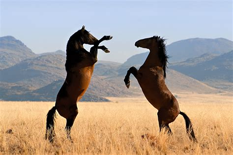 horses wild desert namib mustangs horse mustang cheval caballos caballo africa animals chevaux gondwana collection stallion credit mare feral stallions