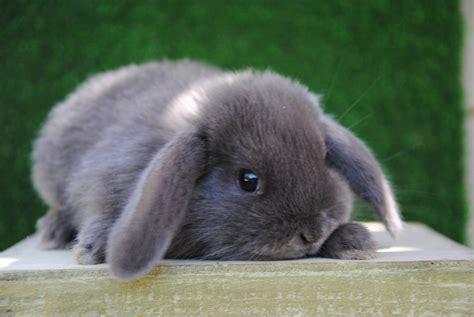 gabbie coniglio nano cuccioli coniglio ariete nano allevamentoconigli it