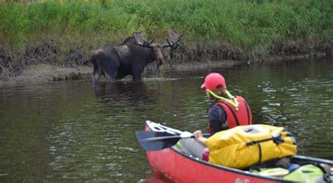 moose maine watching viewing dsc wildlife canoe penobscot branch trip west canoethewild