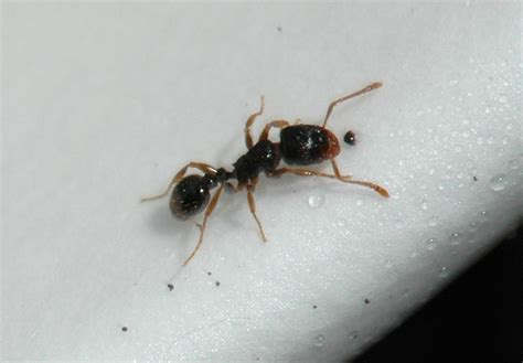 Pavement Ants in Homes During Winter : Yard and Garden