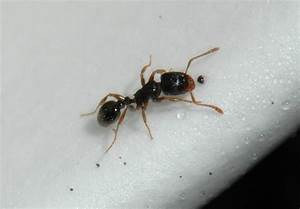 Pavement Ants in Homes During Winter : Yard and Garden ...