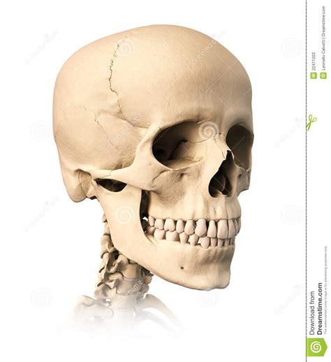 human skull  perspective view stock illustration