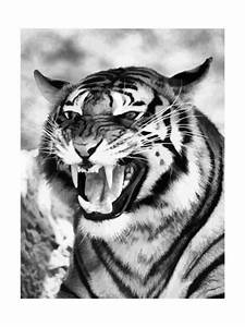Angry Tiger Face Prints by Snap2Art - AllPosters.co.uk