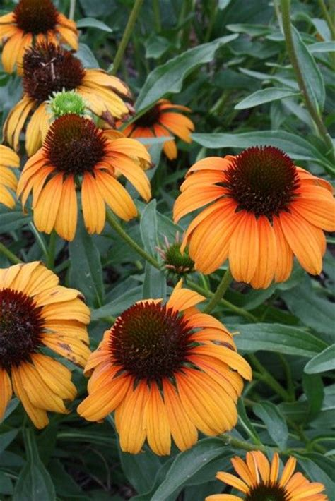 tangerine coneflower 17 best images about coneflower on pinterest gardens sun and flower
