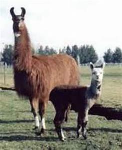 Rising Sun Exotics: *Alpaca vs Llama, What are the ...
