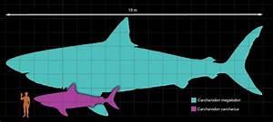 Megalodon Giant Sharks
