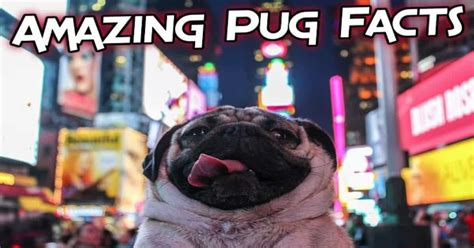 top   amazing facts  pugs  dog digest