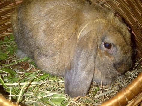 alimentazione conigli detenzione ed alimentazione conigli e porcellini d india