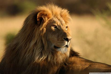 Lion In The Wild 4k Hd Desktop Wallpaper For 4k Ultra Hd