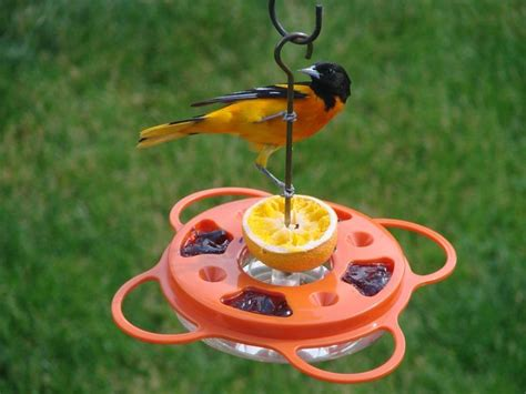 Oriole Feeder Grape Jelly by Image Result For Oriole Jelly Feeder Bird