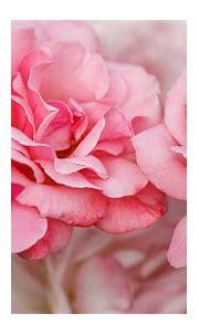 Closeup Pink Rose Photo In A Blur Background 4K HD Flowers ...