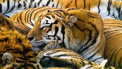 Durmiendo Tigres Resoluciones Disponibles