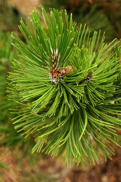 pine bosnian trees colorado tree plant plants