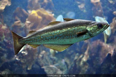 cuisiner le lieu jaune le lieu jaune un poisson au gout délicat