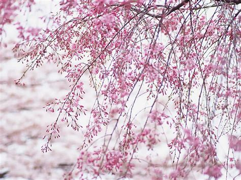 japanese cherry blossom wallpaper funny amazing images
