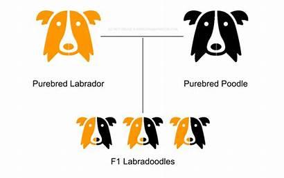 F1 Hybrid Dog F2 Breeds Purebred Meaning