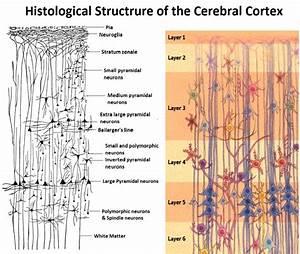 Layers Of The Cerebral Cortex