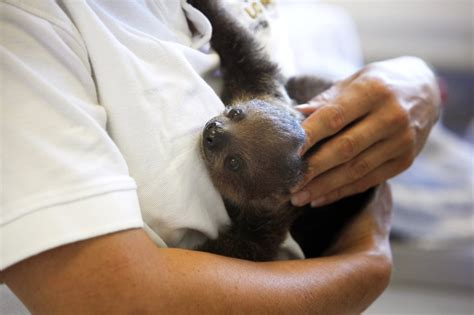pictures  baby sloths  bottle feeding popsugar pets