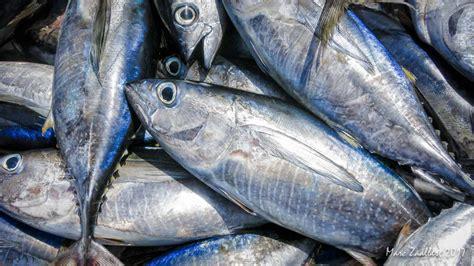 tuna fish interesting facts on the tuna fish factory in the laamu atoll