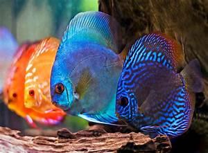 Süßwasserfische Fürs Aquarium : diskusfisch wissenswertes zur haltung zooroyal magazin ~ Lizthompson.info Haus und Dekorationen