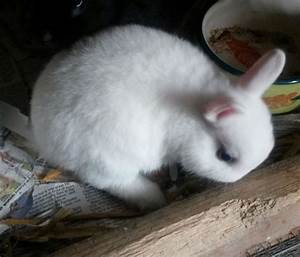 Blue Eyed Netherland Dwarf Rabbits (page 3) - Pics about space