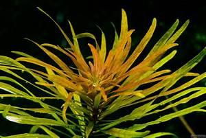 Ludwigia inclinata var. verticillata 'Cuba' - Cuban ...