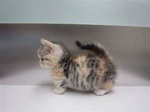Baby Munchkin Cat!! | Moonshines and Ruperts | Pinterest