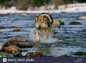 gray, wolf, , , canis, lupus, stock, photo