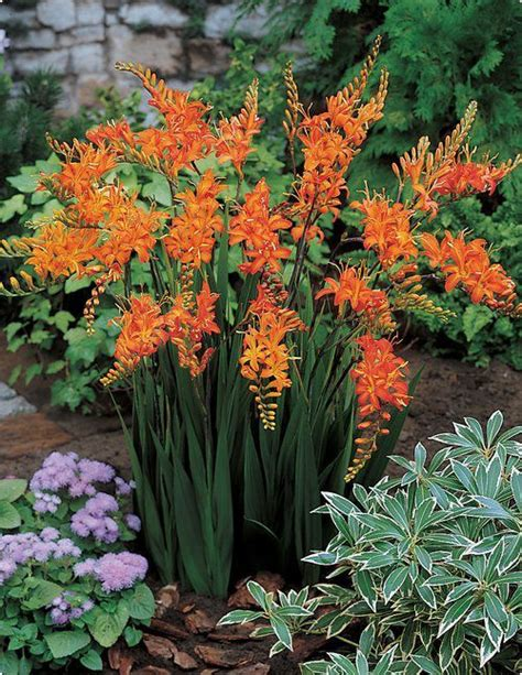 flower not flowering 546 best images about sunset zone 3 garden on pinterest drought tolerant shrubs and