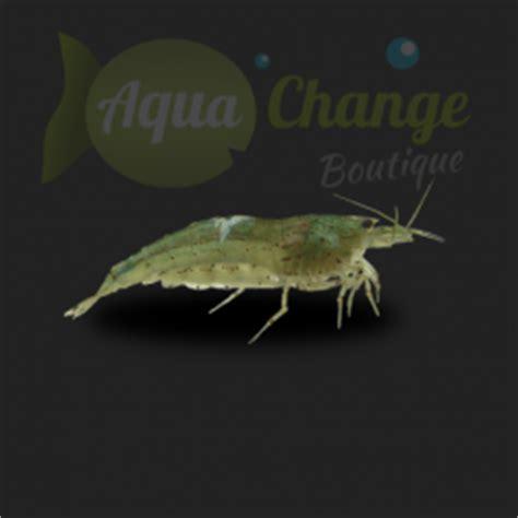 vente crevette aquarium en ligne 28 images macrobrachium lameri transparente 3 3 5 cm
