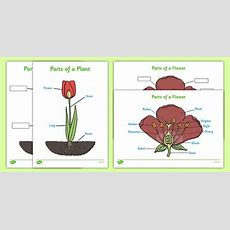 Parts Of A Plant (foundation Stage)  Foundation Stage, Plant, Growth, Topic