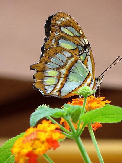 Images About Butterflies Dragonflies Pinterest