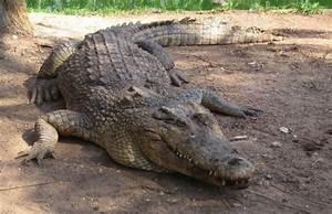 Crocodile Spotted On Crete Island