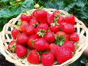Erdbeeren Richtig Pflanzen : erdbeeren im topf erdbeeren im topf so gedeihen sie am ~ Lizthompson.info Haus und Dekorationen