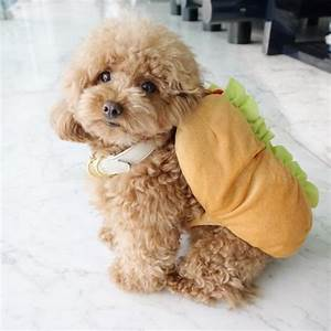 Design Taxi Singapore Toy Poodle Does Handstands And Prays In The Most