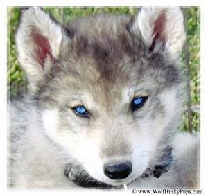 Siberian Husky Timber Wolf Cross Puppy in Utah :) | OUR ...