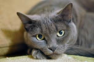 gray cat beautiful cats pictures and wallpapers